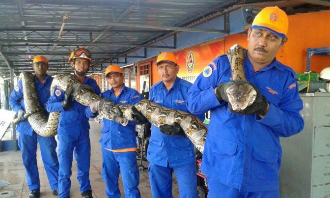 Pythonは英語で「ニシキヘビ」のこと。 Herme Herisyam/Malaysia's Civil Defence Force