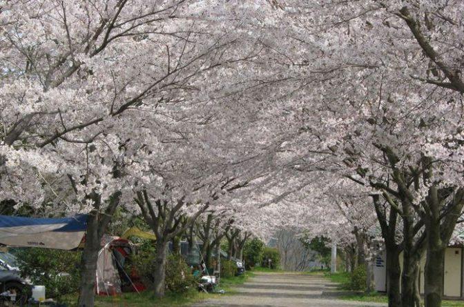 春キャンプはお花見が楽しい