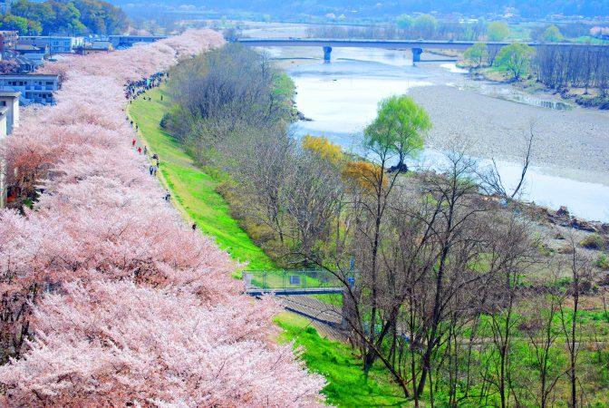 2.5kmの桜並木に感動