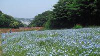 桜よりも幻想的!? 蒼い花「ネモフィラ」を見れるおすすめスポット9選